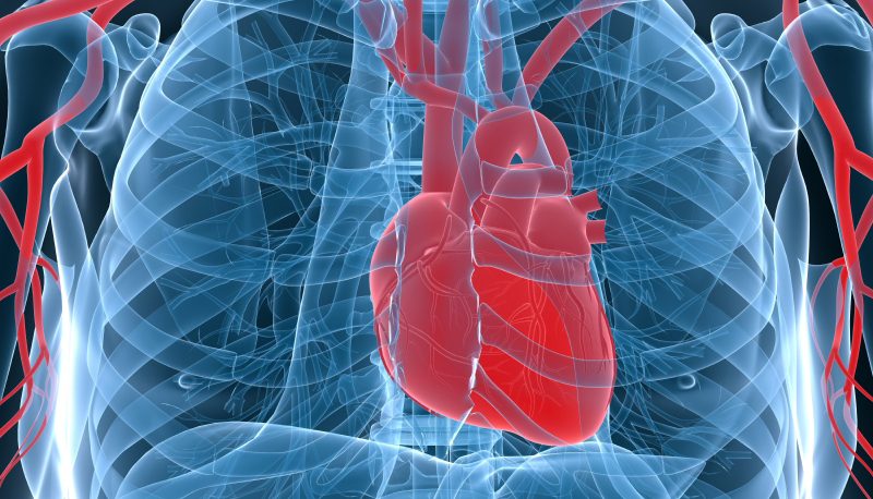 world's first engineered human heart muscle could help produce new, Muscles